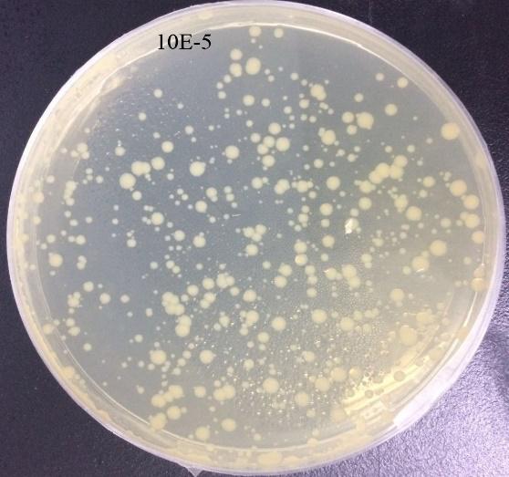Nanogenizer超高压细胞破碎仪 均质前大肠杆菌