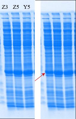 Nanogenizer超高压细胞破碎仪破碎细胞后提取蛋白